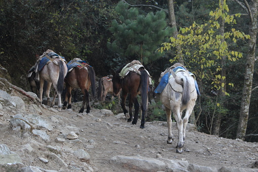 Donkeys carrying supplies across the Himalayas