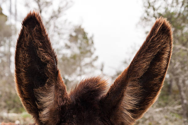 Donkeys ears stock photo