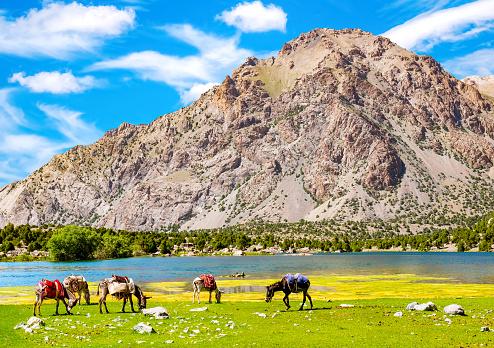Donkeys graze near the mountain lake in Fann Mountains background, Tajikistan. Donkeys for transportation of goods