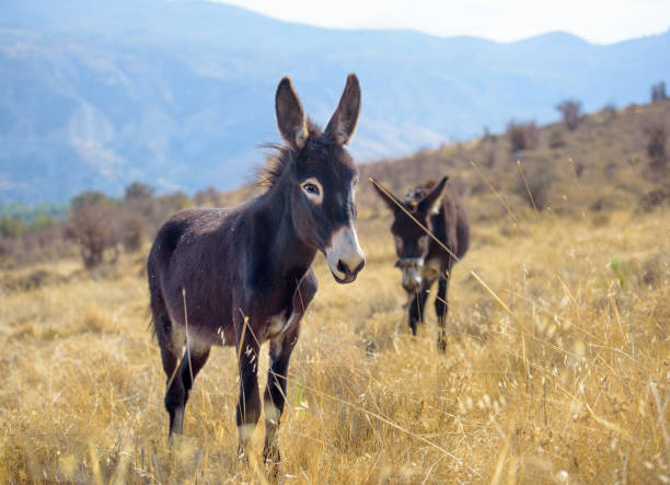 Donkeys grazing in yellow field with mountains in background stock photo