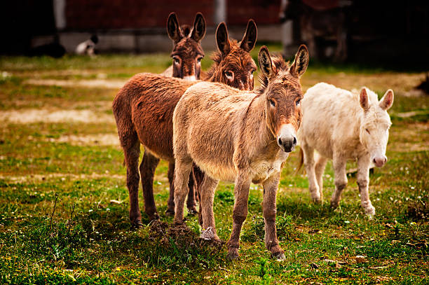Donkeys grazing stock photo