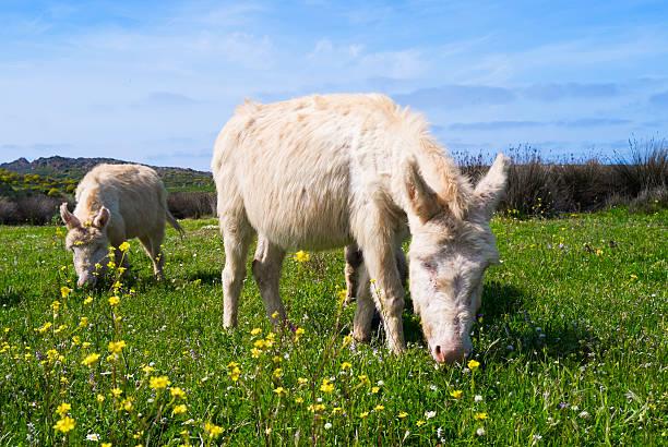 Donkeys in Asinara island, Sardinia, Italy stock photo