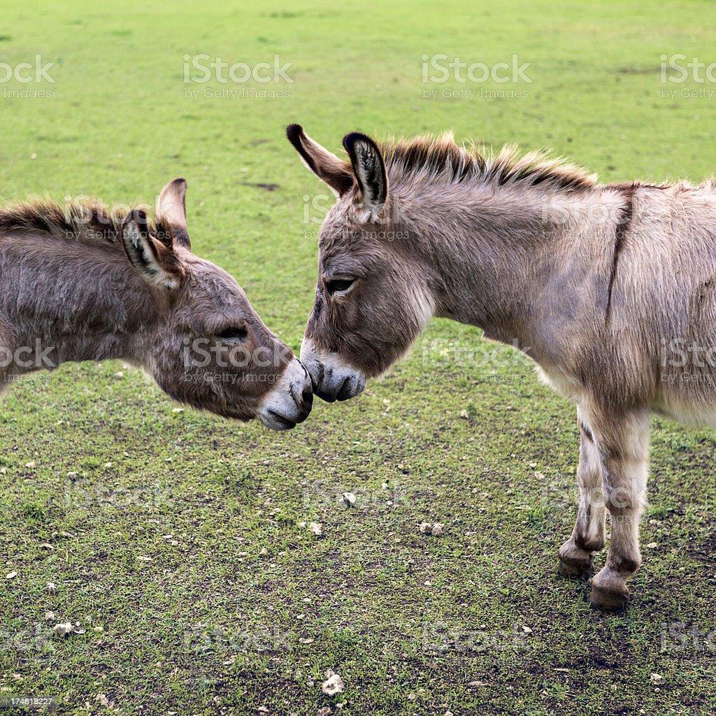 Donkeys in love royalty-free stock photo