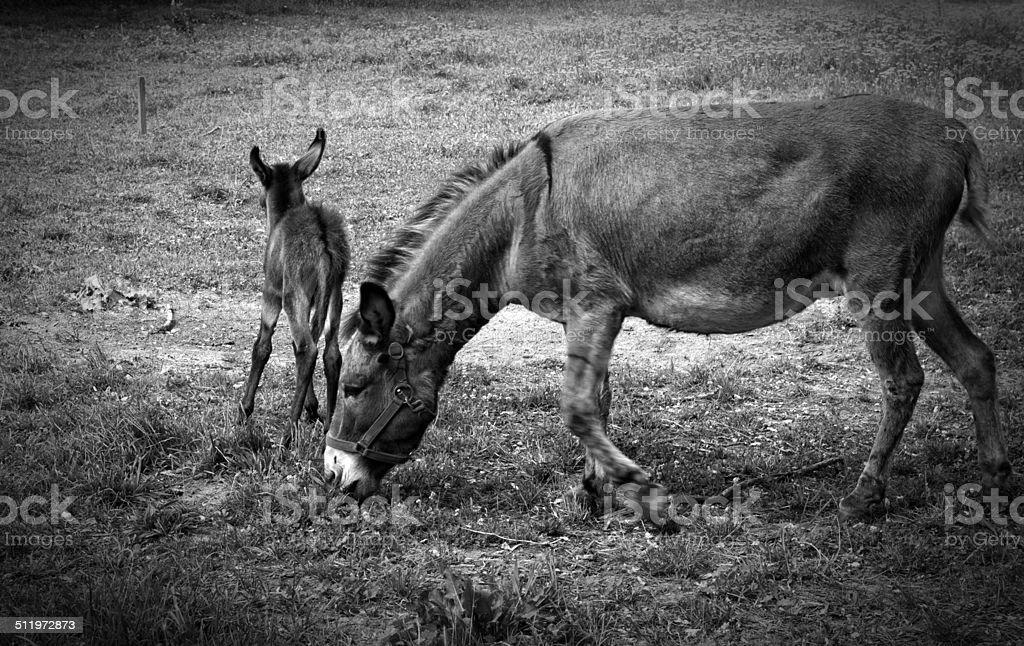 Donkeys in nature stock photo