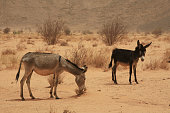 Donkeys in the abandoned archeological site of Naqa, in northern Sudan.Naqa is an important ruined ancient city of the Kushitic Kingdom of Meroe in the Nubian desert. The site has one temple devoted to Amun, another to Apedemak and a Roman structure. It is a UNESCO World Heritage Site.