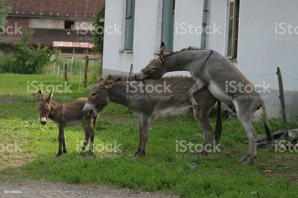 Royalty Free Donkeys Mating Pictures, Images and Stock ...
