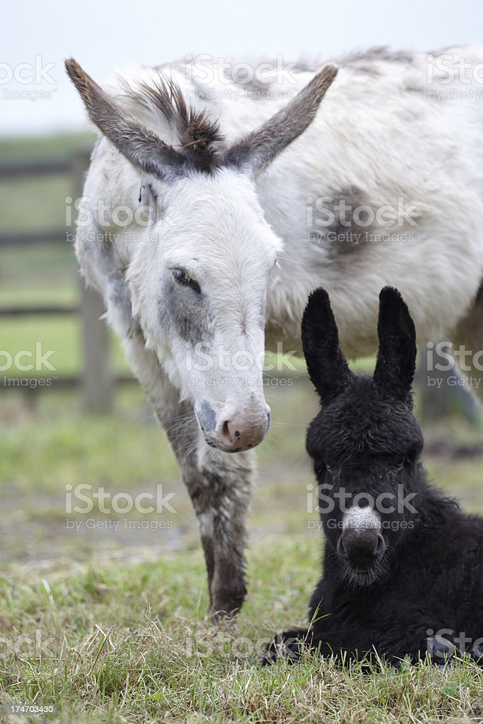 Donkeys mother and foal sitting royalty-free stock photo