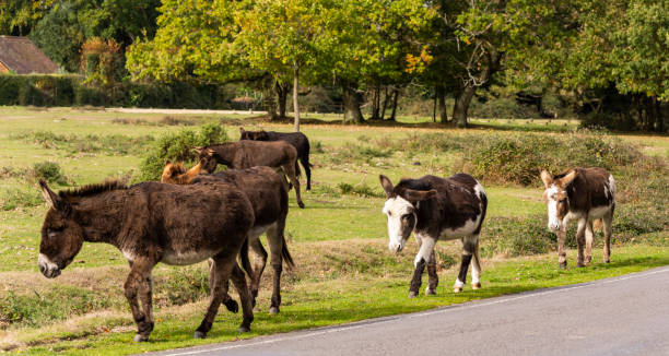 Ezels New Forest​​​ foto