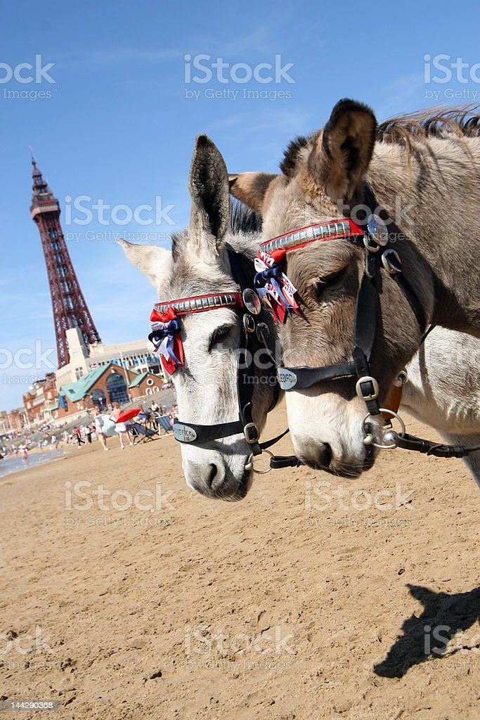 Donkeys on Blackpool Beach stock photo