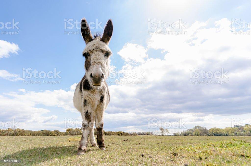 Eseln geführt werden – Foto