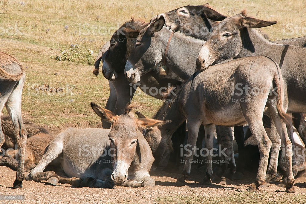 Donkeys royalty-free stock photo