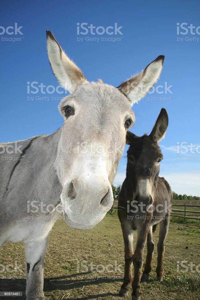 donkeys royalty-free stock photo