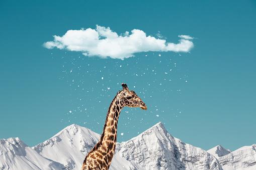 Humorous concept: African giraffe in unusual environment.