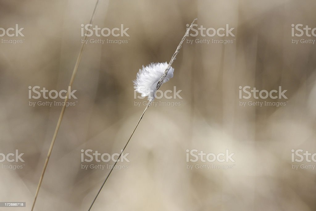 Single white feather caught on grass stem pale background stock photo