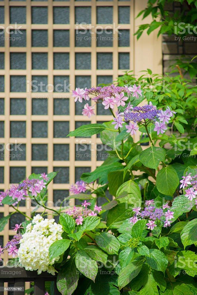 Porte Hortensia photo libre de droits