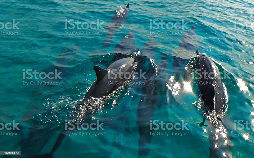 dophins royalty-free stock photo