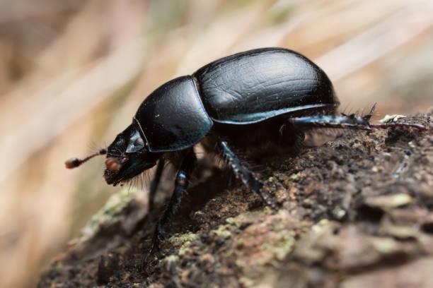 Dor beetle, Anoplotrupes stercorosus, macro photo stock photo