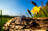 Anoplotrupes stercorosus, Dor Beetle walking down a wood with a dandelion in background