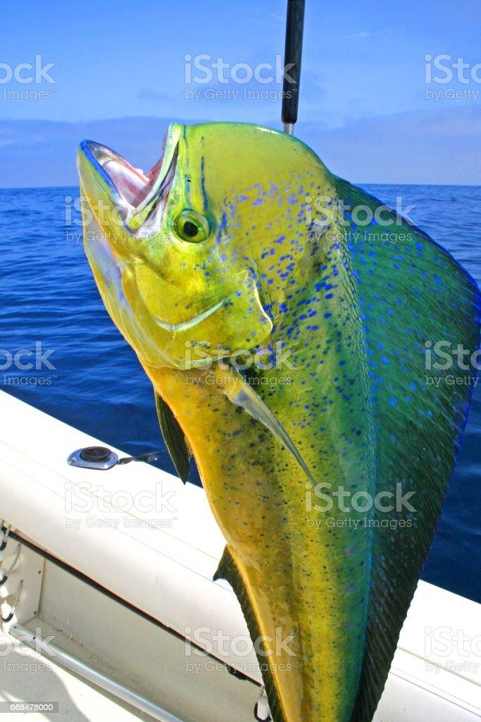 Dorado Fish on Deck stock photo