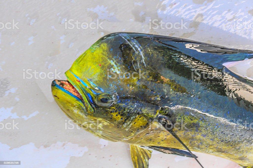Dorado or Mahi Mahi stock photo