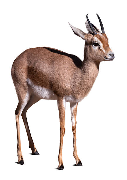 Dorcas gazelle. Dorcas gazelle.  Isolated over white background herbivorous stock pictures, royalty-free photos & images