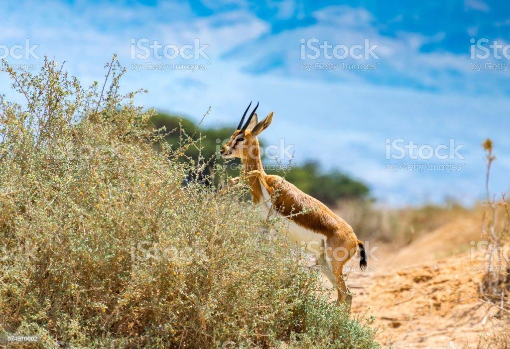 Dorcas gazelle (Gazella dorcas) royalty-free stock photo