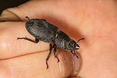 Dorcus parallelipipedus, the lesser stag beetle, is a species of stag beetle found in Europe. Beetle sitting on a finger