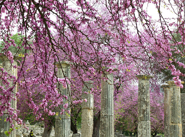 doric columns amongst beautiful pink flowers at olympia archaeological site - blumensäule stock-fotos und bilder