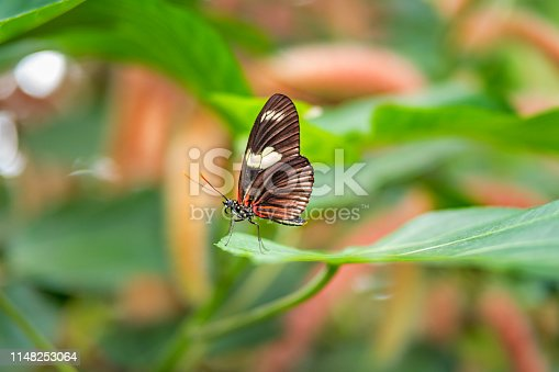 Stock photograph of a Doris Longwing Butterfly (Laparus Doris) resting on a leaf on a sunny day.