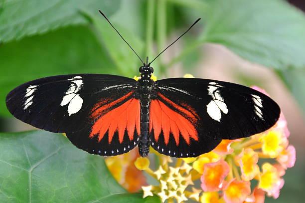 Doris longwing butterfly picture id622807542?b=1&k=6&m=622807542&s=612x612&w=0&h=xheib iodwqwpsgtwwqb0zhg rbcuxvuqbi2 kvg30e=