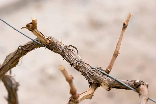 Dormant Grapevine (Closeup) stock photo