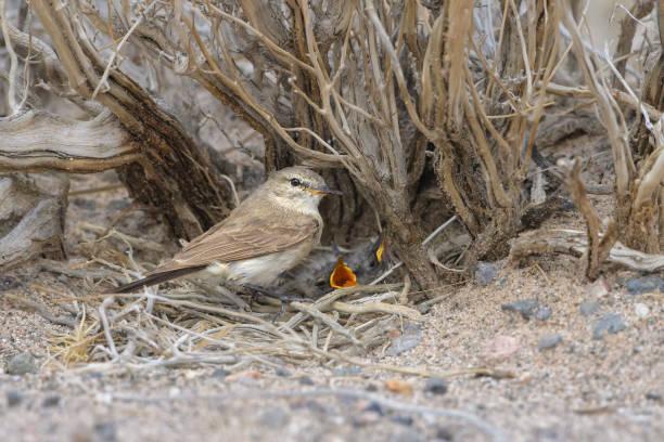 Dormilona chica en el nido, (Muscisaxicola maculirostris) stock photo