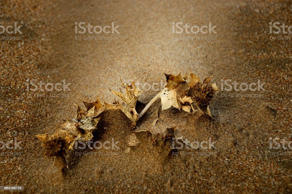 Dornenpflanze im Sand royalty-free stock photo