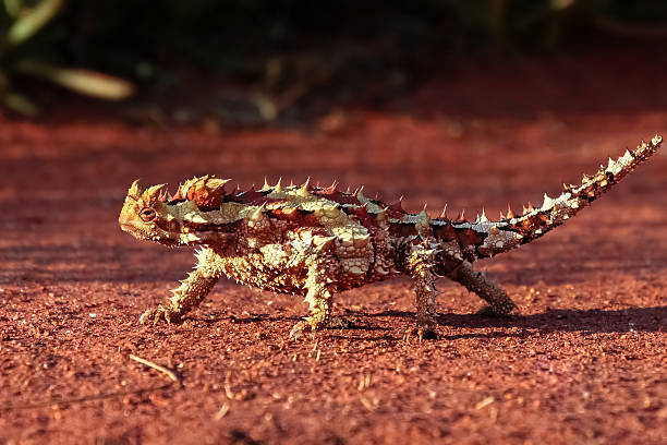 Dornteufel im Outback Australiens – Foto