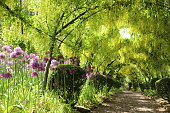 Beautiful English garden in Spring with vibrant colour, yellow Laburnam arch and purple Alliums. It feels as if you can walk towards Spring.