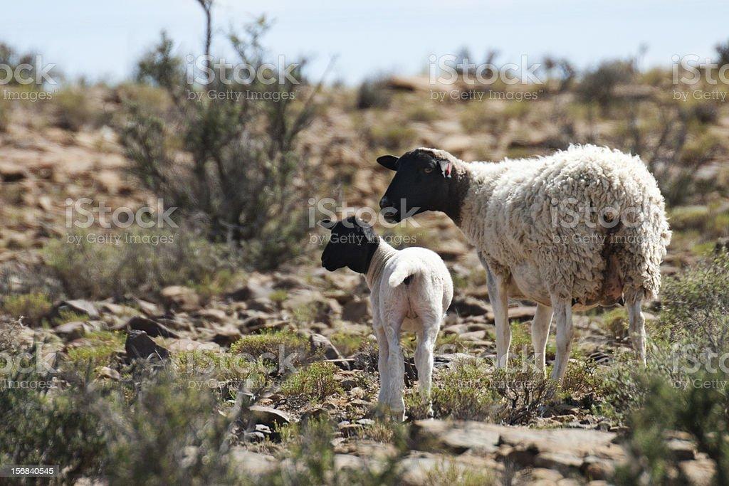 Dorper Ewe and Lamb stock photo