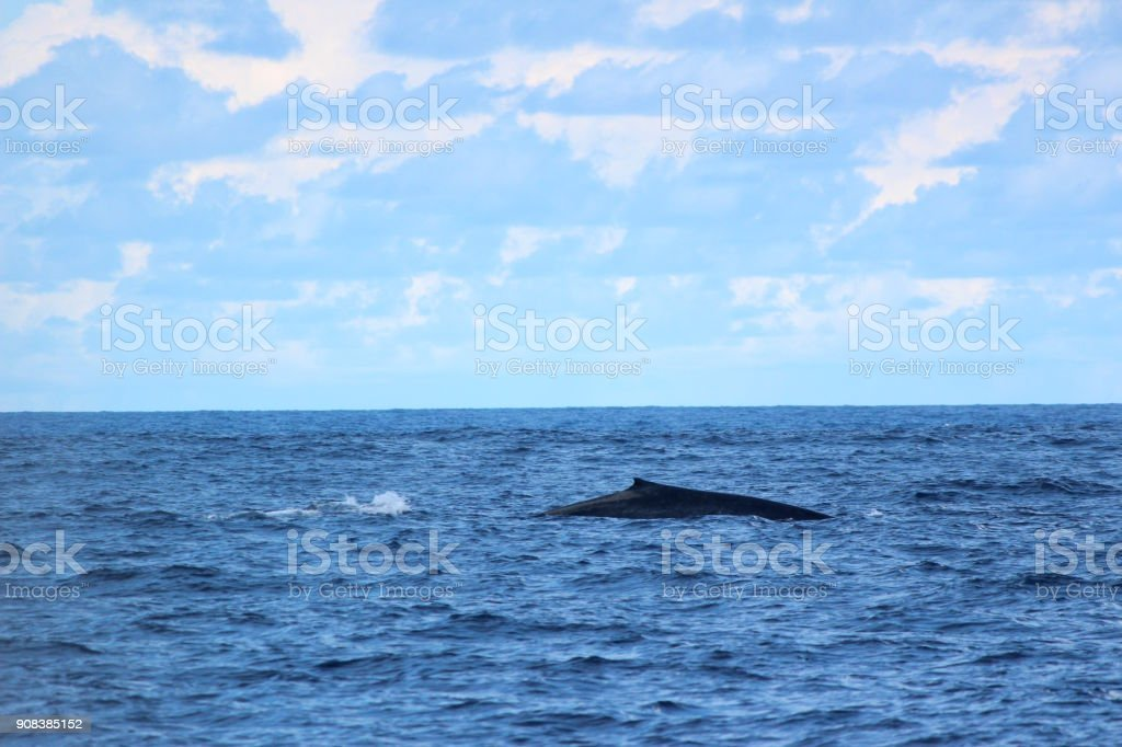 Dorsal fin of a Blue Whale, exposed as it dives in Indian Ocean, Sri Lanka stock photo