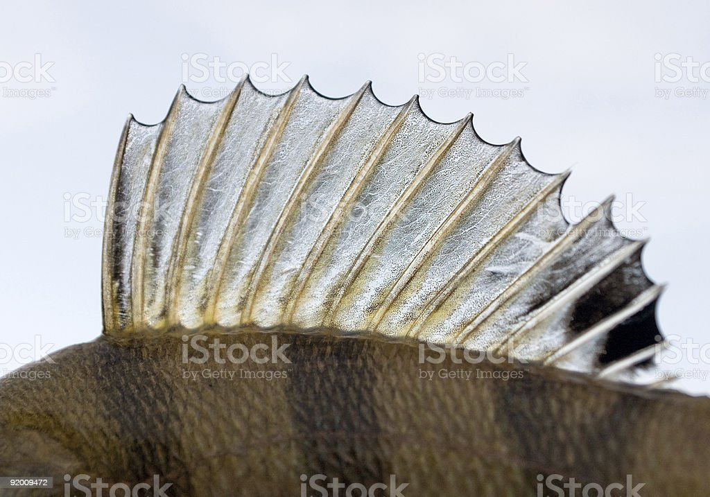 Dorsal fin of a perch - looks like punk's mohawk! stock photo