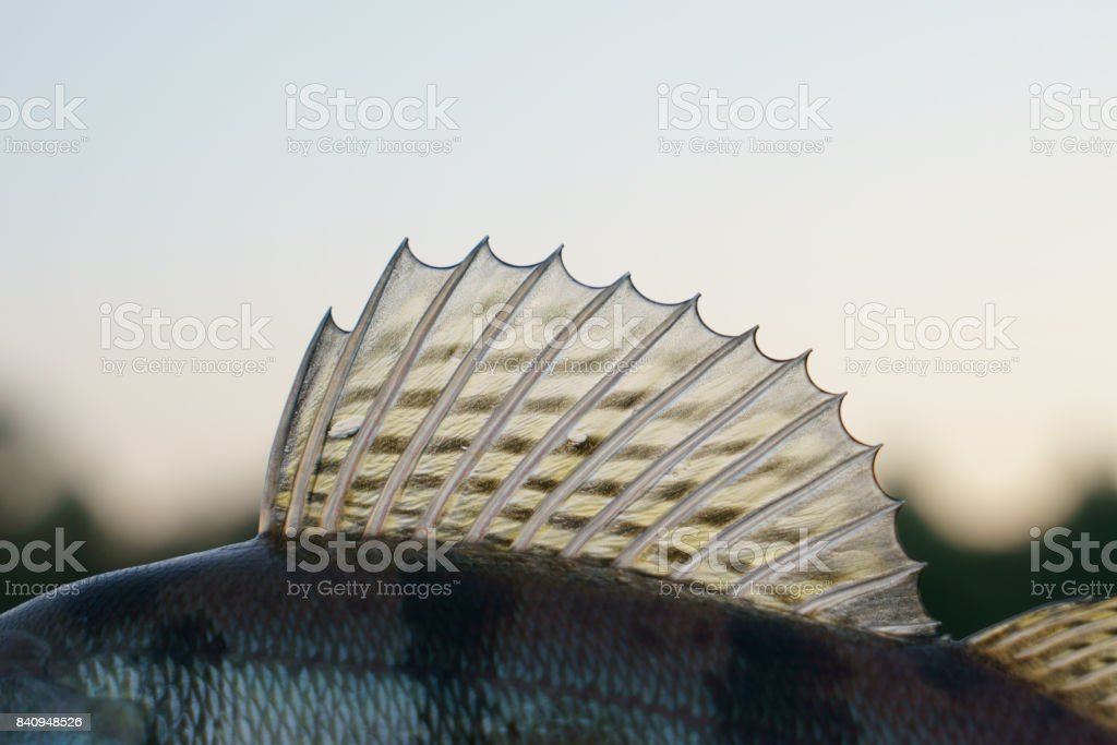 Dorsal fin of a walleye stock photo