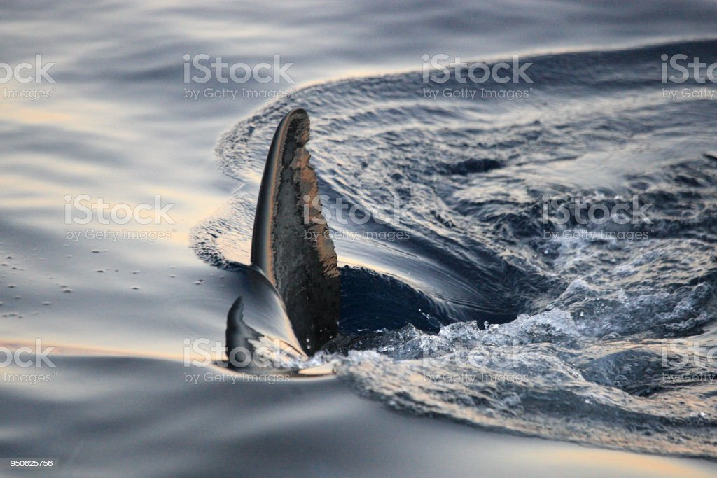 dorsal fin of great white shark, Carcharodon carcharias, Guadalupe Island, Mexico, Pacific Ocean stock photo