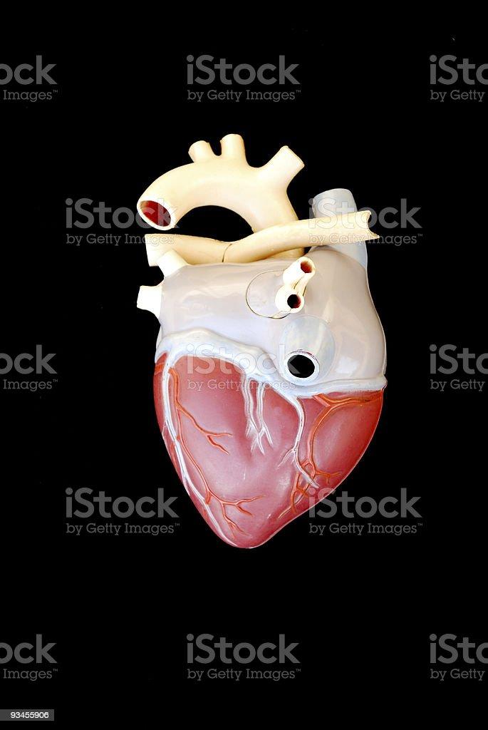 Dorsal view human heart stock photo
