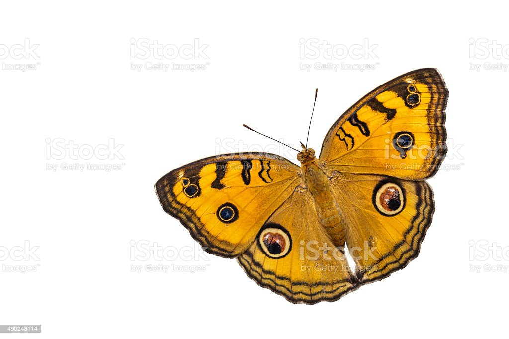 Dorsal view of isolated peacock pansy butterfly stock photo