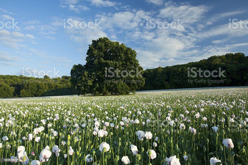 Dorset Opium Poppies stock photo