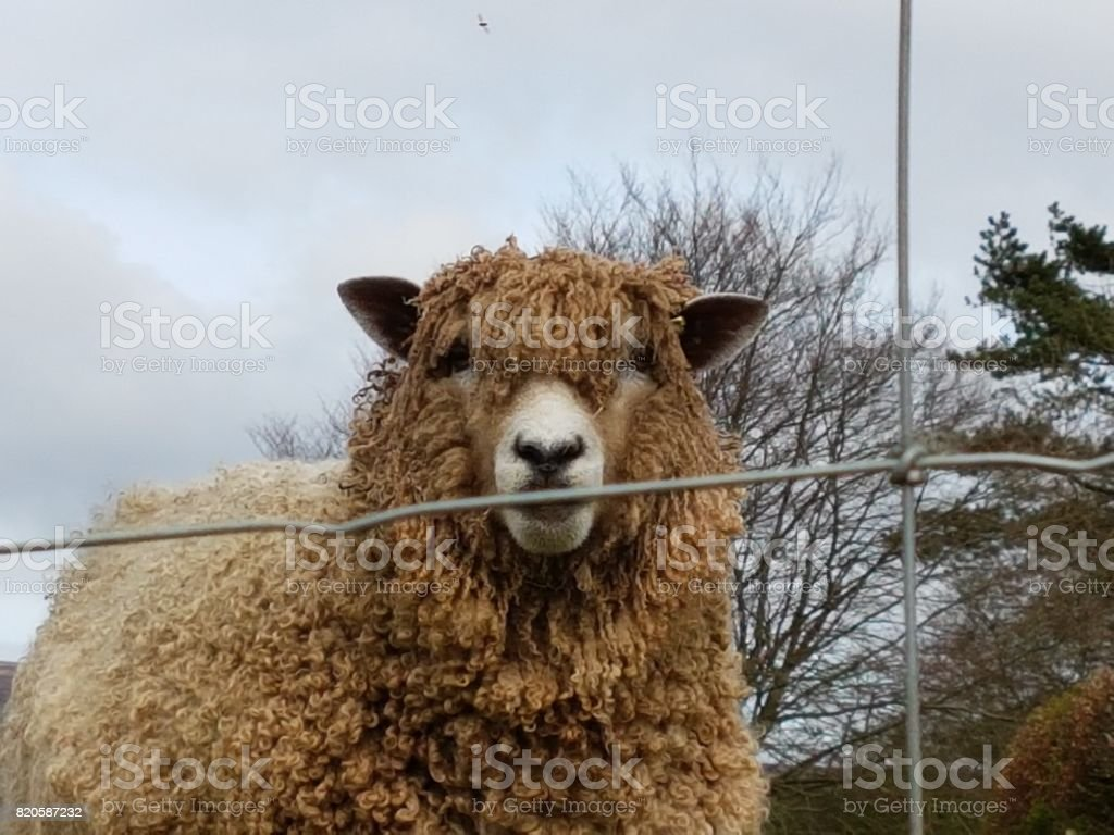 Dorset Sheep stock photo