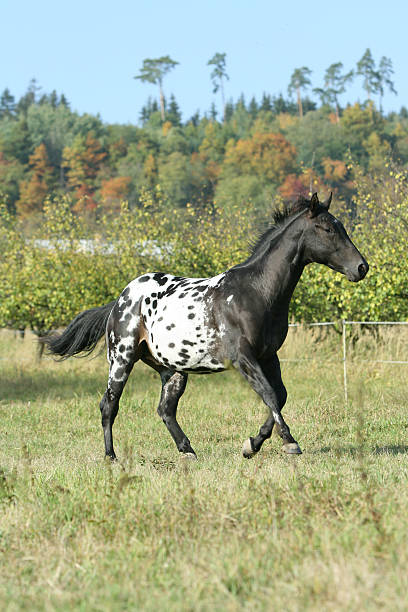 Dotty stallion Beautiful dotty stallion running in autumn appaloosa stock pictures, royalty-free photos & images