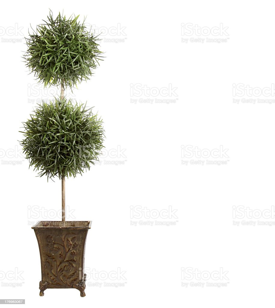 double ball topiary isolated on white stock photo