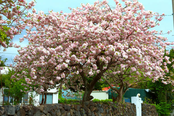 Double cherry blossoms, cherry blossoms, spring, cherry trees, rural areas, villages, stock photo