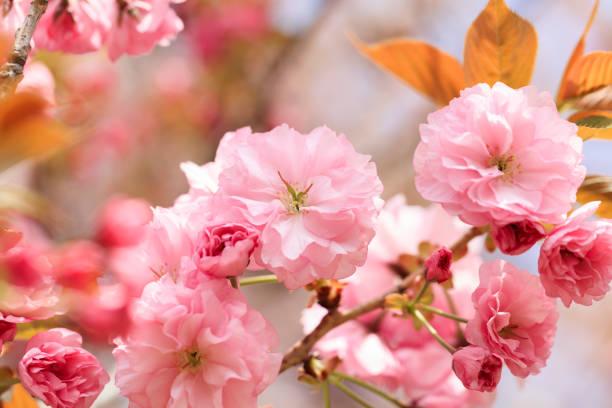 Doppelte Kirschblüte in voller Blüte - Kanzan- – Foto