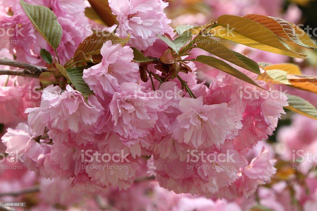 八重桜 ロイヤリティフリーストックフォト