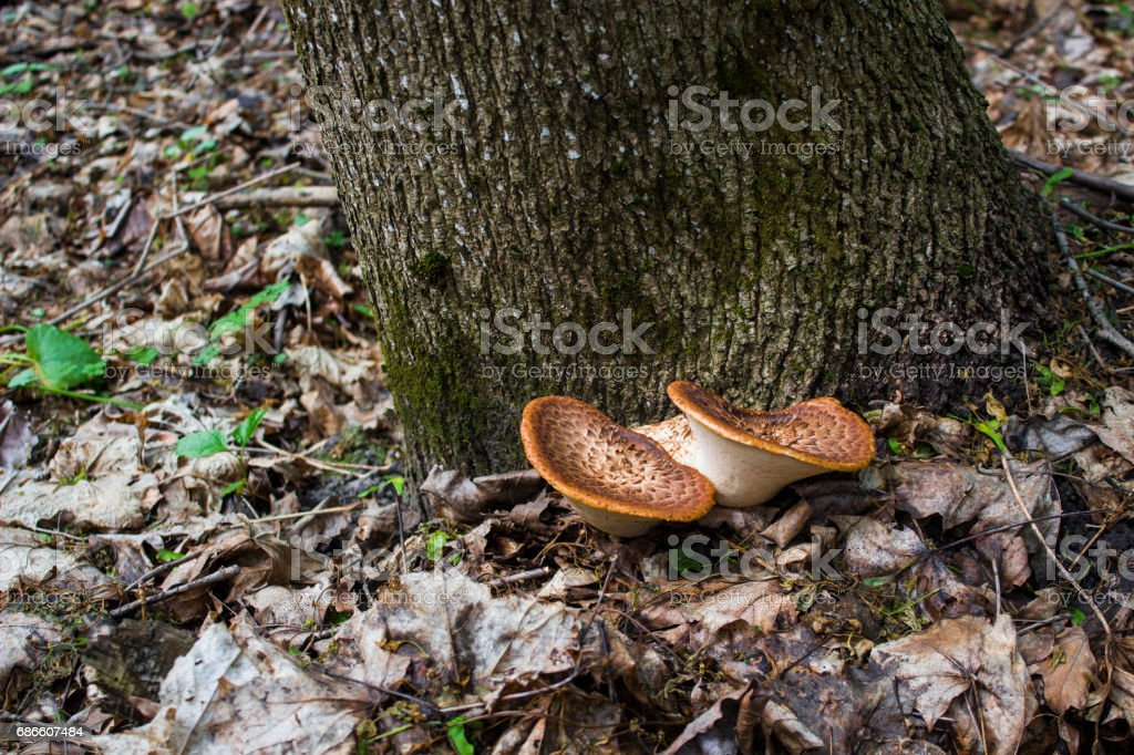 Double cinnamon mushroom sprouted at the base of the tree royalty-free stock photo